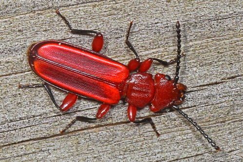 Red Flat Bark Beetle - Cucujus clavipes, Leesylvania State Park, Woodbridge, Virginia | by judygva