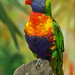 Rainbow Lorikeet [Explored]