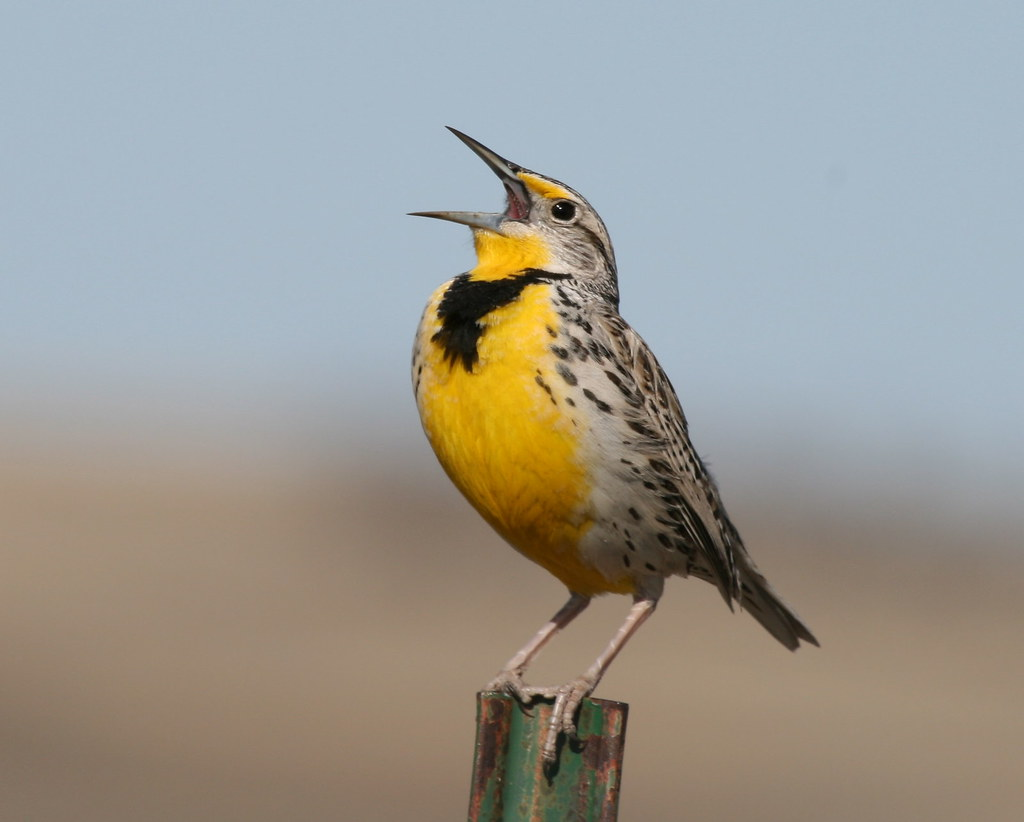 North Dakota State Bird The Western Meadowlark