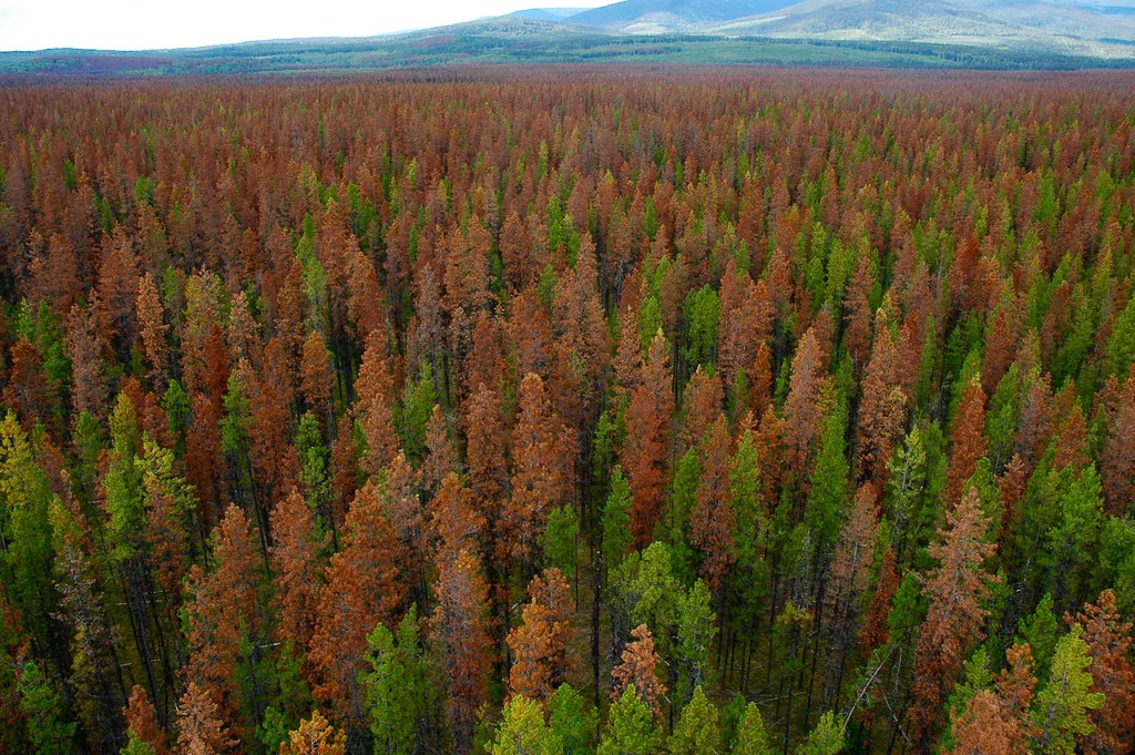 Image result for mountain pine beetle