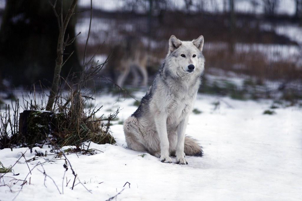 Image Result For Wolves