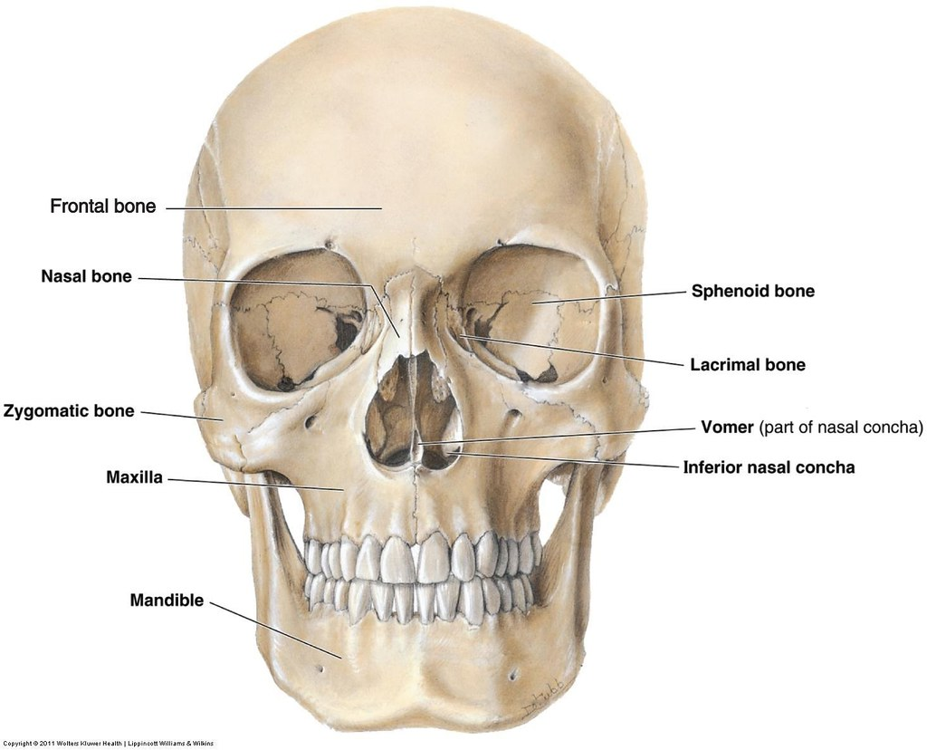 Facial Bones Anatomy Victoria Potamuse Flickr