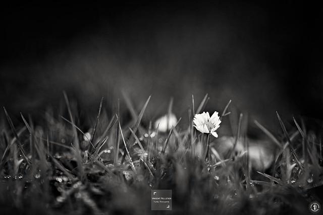 black white daisy flower photography