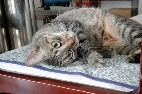 Susi, gata parda guapa y cariñosa esterilizada, nacida en Enero´15, en adopción. Valencia. ADOPTADA. 29275392884_aceb93632b