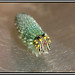 Scientific name: Fountainea ryphea 11/5