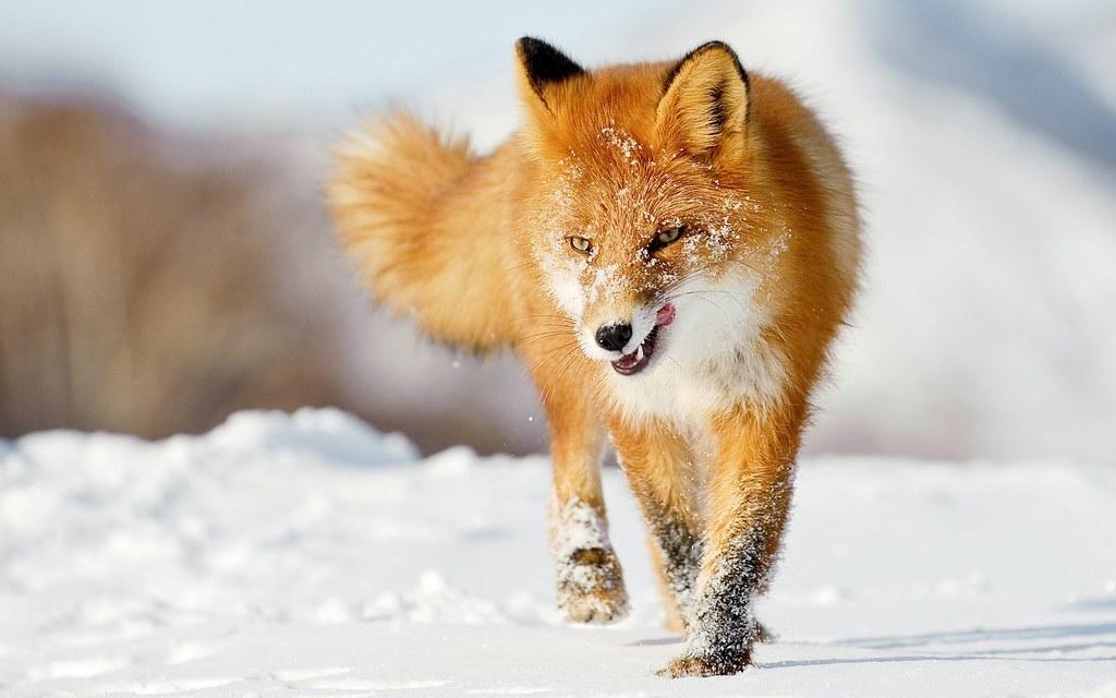 Лиса Firefox 48