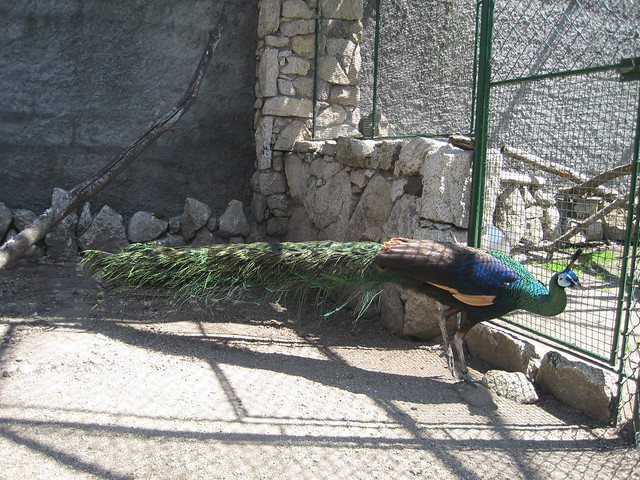 Pavo Real en Avifauna Parque Zoológico Ornitológico