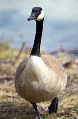 Goose Strutting