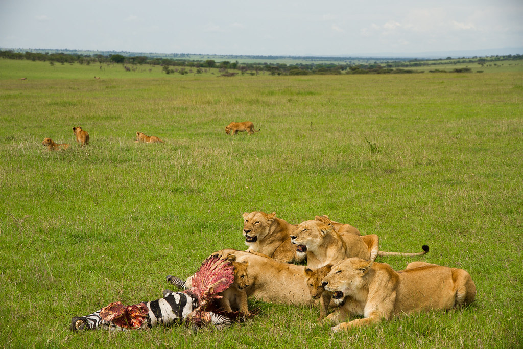 Lunch Time In Serengeti Tanzania Part Of Green Hills Of A Flickr