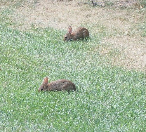 At Home: Two Bunnies in the Backyard