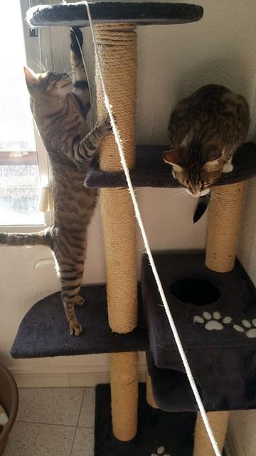 Cotton y Cobby, gatos pardo y blanquipardo inseparables, nacidos en Febrero´15, necesitan adopción Conjunta. Valencia. 29459282362_3b163665be_z