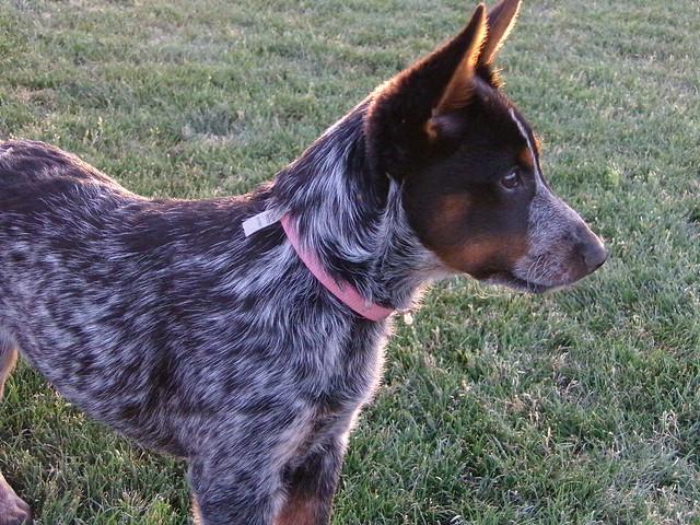 Queensland Heeler Dog Breed Info
