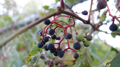 Virginia Creeper Berry | by Stephen Downes