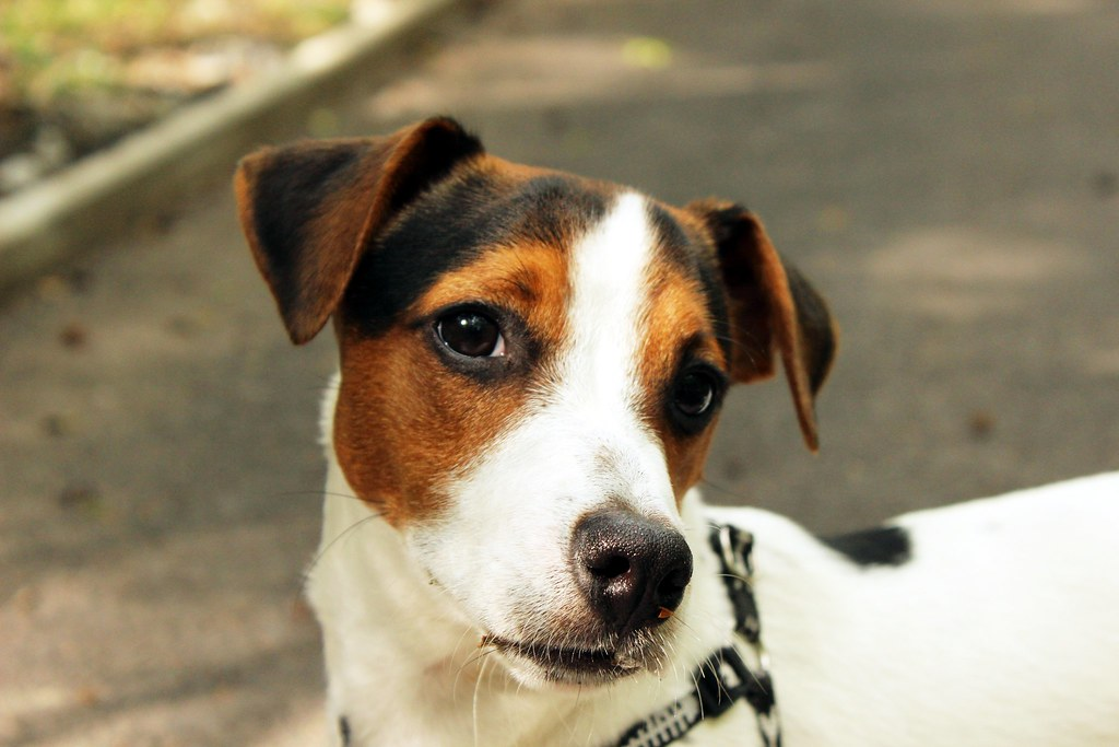 Jack Russell Dog Breed Info