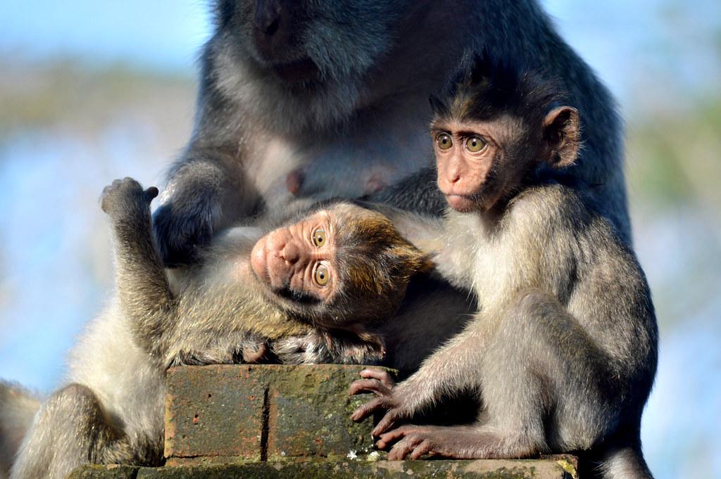 Javanese monkeys