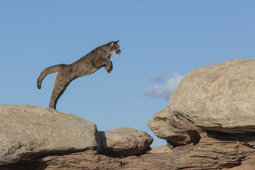 Cougar Jumping Distance Jumping Cougar 3 by