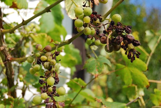 De deplorabele staat van onze Luxemburgse druivenstok...