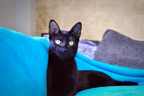 Selva, gatita Pantera guapa, estilizada y divertida esterilizada, nacida en Mayo´16, en adopción. Valencia. ADOPTADA. 29987840256_8218c917d7