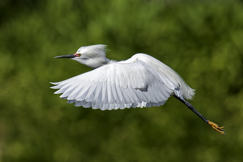 Snowy Egret (Explored) | by jimages Images