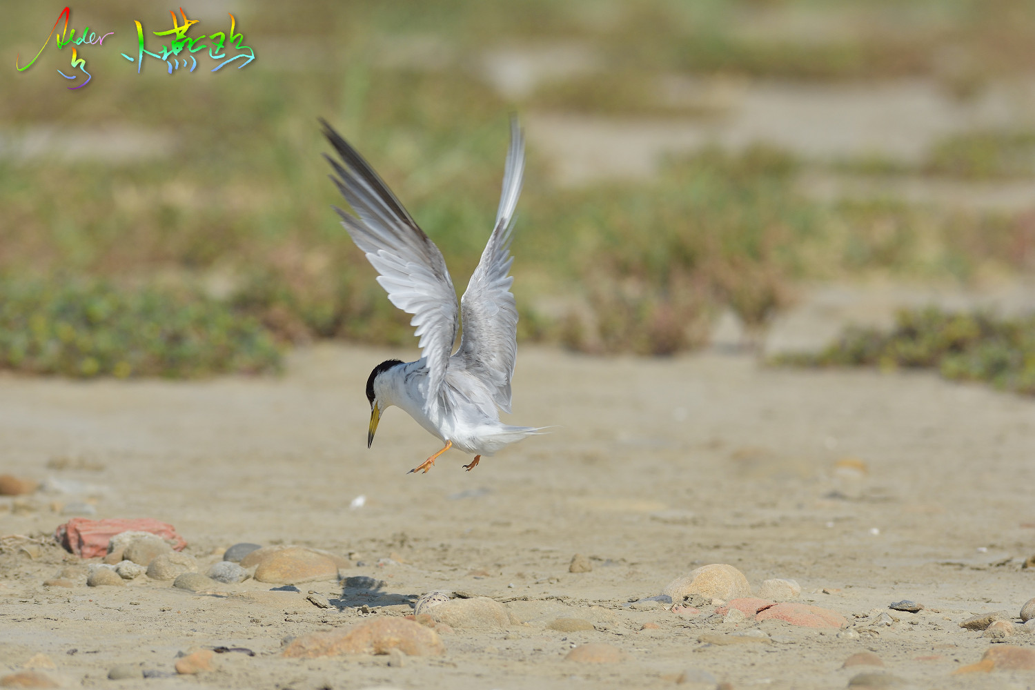 Little_Tern_2505