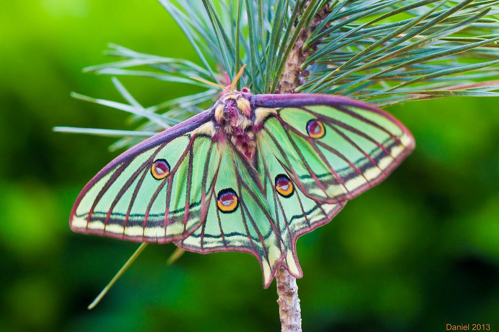 isabelle papillon graellsia isabellae by en souvenir de daniel noverraz - Image De Papillon