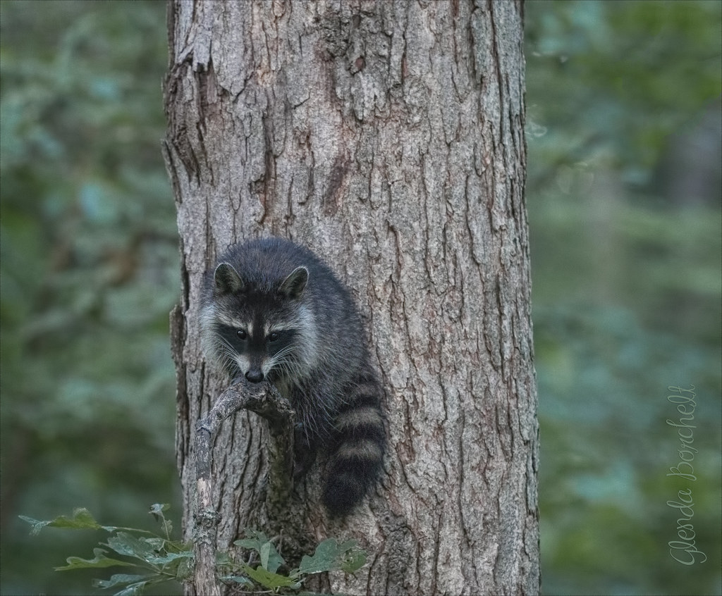 Masked Bandit II | Heard a thud at 6:30 this morning only to