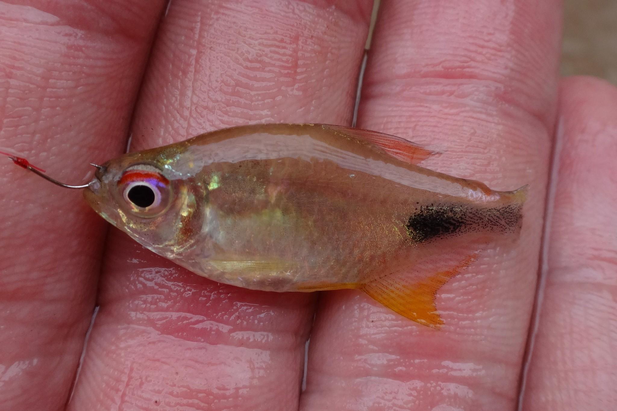 Ben Cantrell 39 S Fish Species Blog Peruvian Amazon Part 1