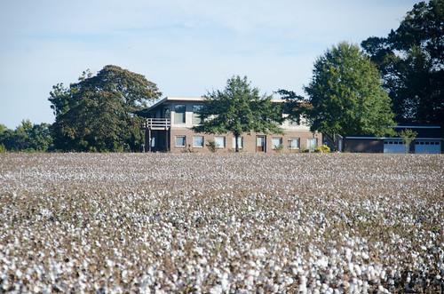 Antreville Cotton Field