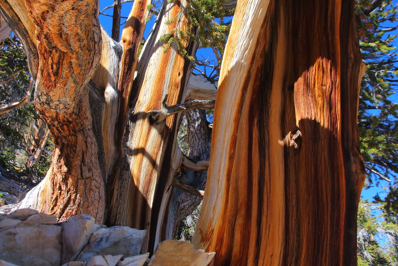 IMG_2081 Heartwood and Bark of Great Basin Bristlecone Pine
