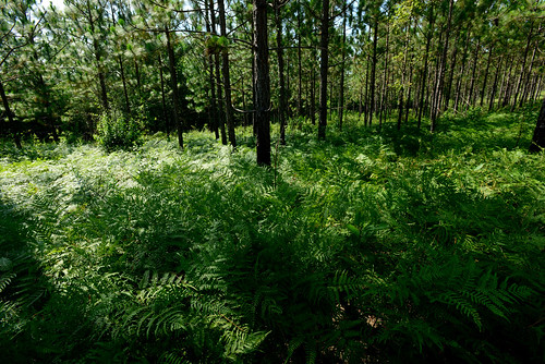 A longleaf pine forest