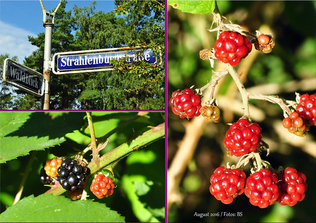 Brombeerzeit - Selbstversorgung aus Wald und Feld - Wilde Früchte - Mannheim Pfingstberg - Brombeer-Tartelette - Brombeersahne - frische Brombeeren - Foto: Brigitte Stolle August 2016