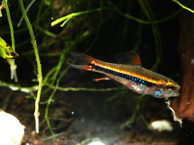 P2168384 珍珠燈魚