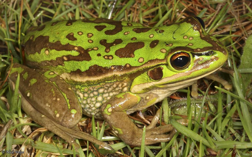 best practice guidelines green and golden bell frog habitat