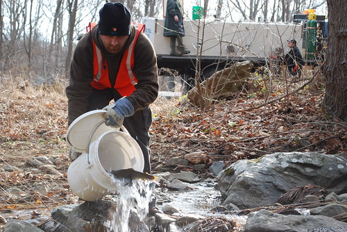 Photo of trout being stocked into stream