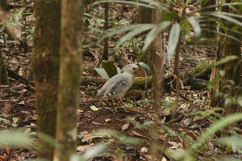 Cagoo bird