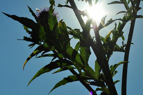 """Gartenreisen - Luisenpark Mannheim - Heilpflanzengarten. """"Im Juli sind mir unter anderen die folgenden Pflanzen besonders aufgefallen: Roter Sonnenhut (Echinacea purpurea), Echter Alant (Inula helenium), Eselsdistel (Onopordum acanthium), Akanthus (Acanthus), Echte Artischocke (Cynara scolymus)"""" - Fotos: Brigitte Stolle 2016"""