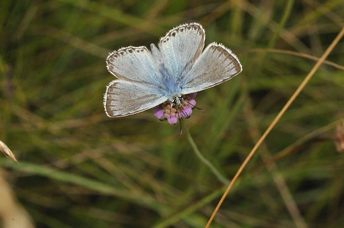 Chalkhill Blue | by markhows