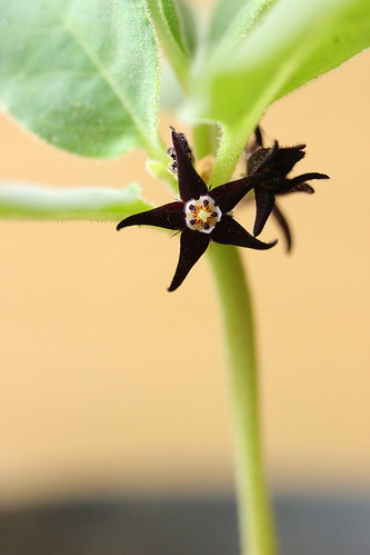 Brachystelma sp. aff. lancasteri