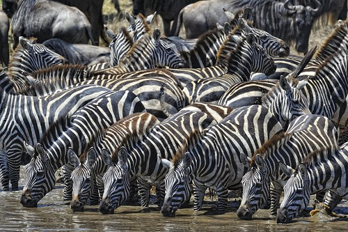 Zebras drinking at the watering hole | by diana_robinson