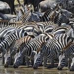 Zebras drinking at the watering hole