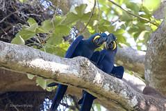 Hyacinth Macaws, South Pantanal, Brazil.