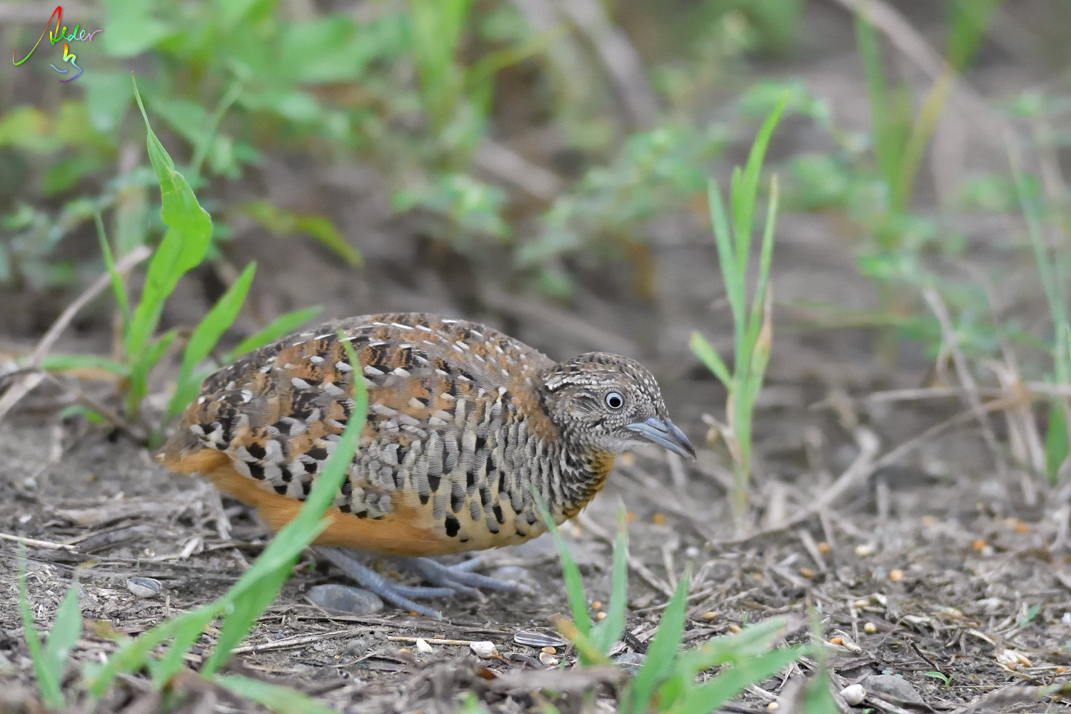 Barred_Buttonquail_1229