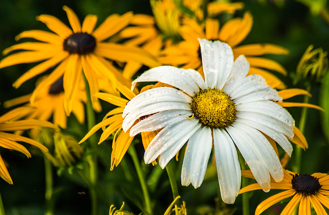 Flowers, Daisy, Daisies, White, Yellow