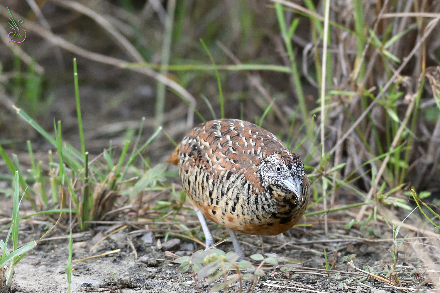 Barred_Buttonquail_1753