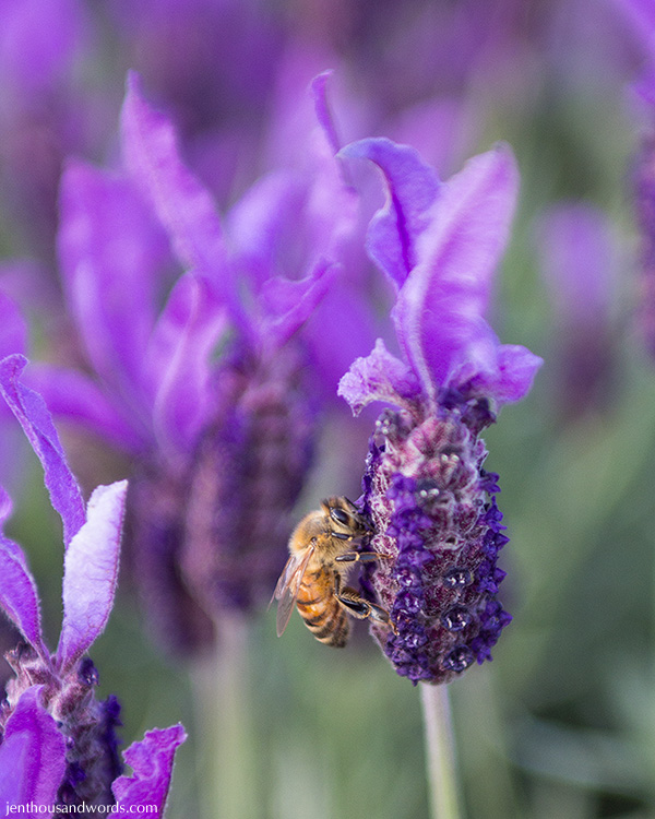 Bees enjoying lavender 10
