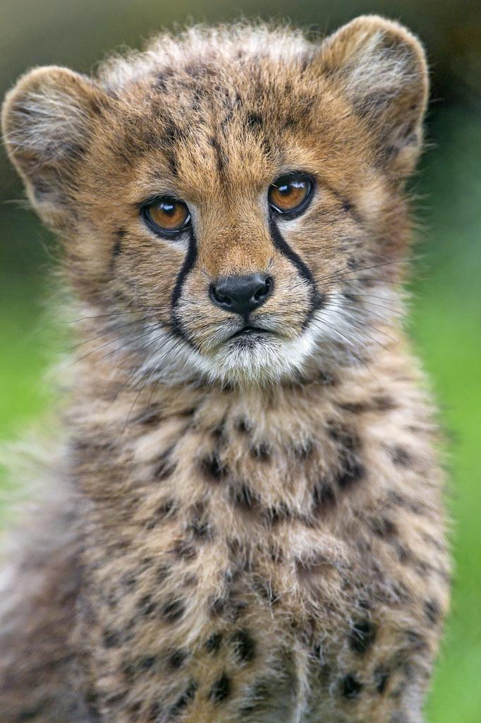 Big Cheetah Looking Cats