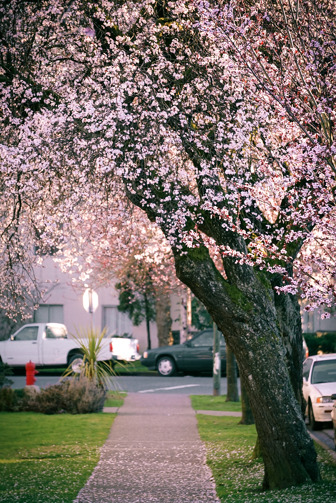 Early Cherry Blossoms Blooming In Vancouver Bc Canada Flickr