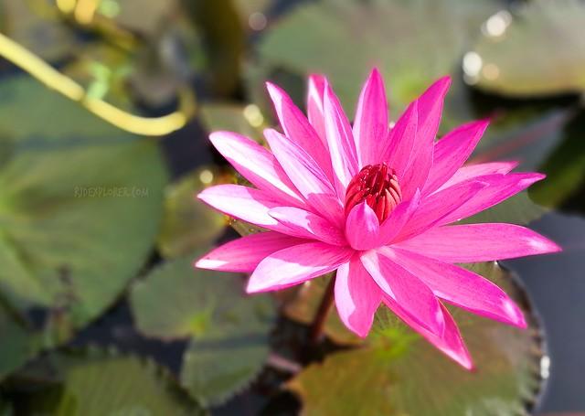 lake apo lilies