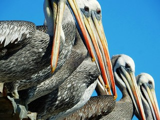 Pelicans - Chile | by pacoalfonso