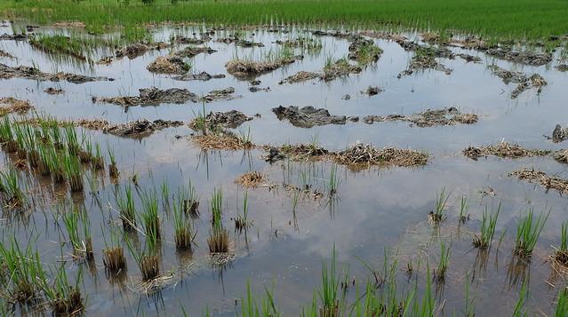使用益菌肥五天後,稻草開始褐化 攝影:陳文姿